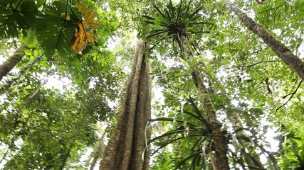Giant tree in tropical rainforest, Ecuador