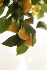 Erntezeit Orangen