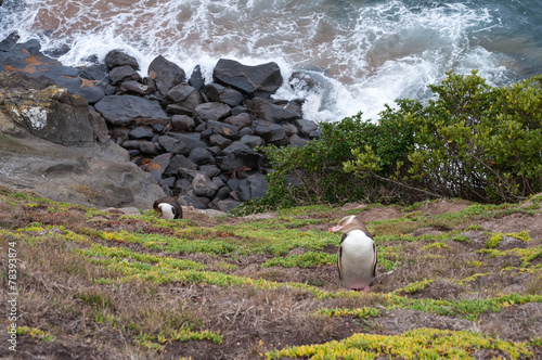 Poster Pinguin Yellow-eyed Penguin