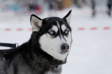 Husky - dog's with blue eyes