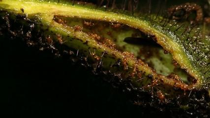 Amazonian tree Cordia nodosa (Boraginaceae) with symbiotoic ants