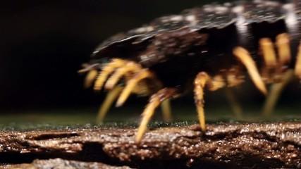 Giant Flat-backed millipede (Polydesmidae), Ecuador