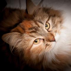 Gatto siberiano - Pelo tartaruga