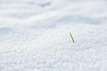 spring grass with snow