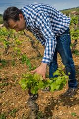 viticulteur dans les vignes