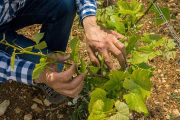 dans les vignes au printemps