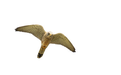 flying hawk on white