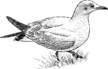 gull in a grass