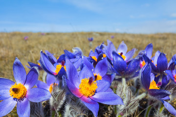 blue prairie flowers