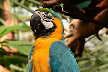 South American Macaw portrait