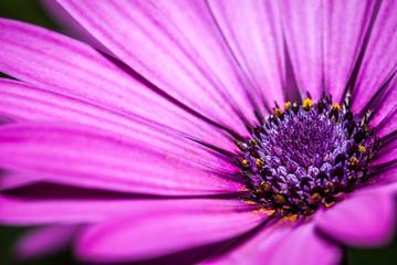 flower purple, magenta with details of pistils