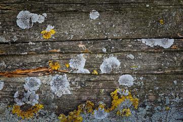 Moos und Flechte auf Holz