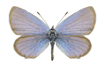 Butterfly Cupido argiades (male)