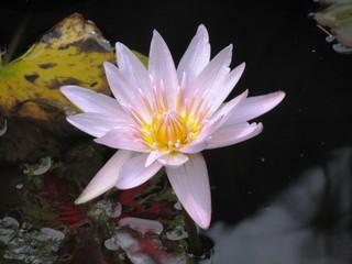 Isola Madre im Garten der Borromäischen InseI - Lago Maggiore