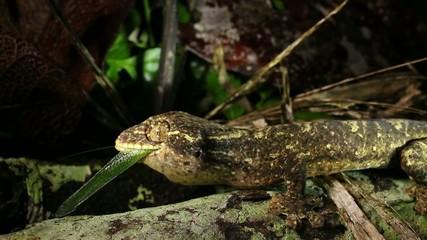 Turnip tailed gecko (Thecadactylus solimoensis) feeding