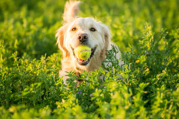 Golden Retriever Fetching the Ball