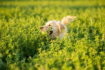 Golden Retriever in the Fields