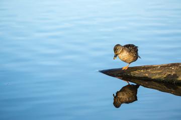 Ente mit Spiegelbild