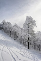 frozen trees in winter forest