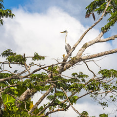 Big gray heron, Lake Cuyabeno Laguna Grande. Ecuador