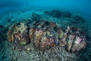 Giant Clams in Micronesia