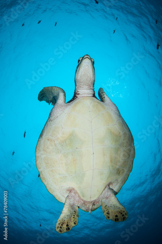 Foto op Canvas Schildpad Green Sea Turtle