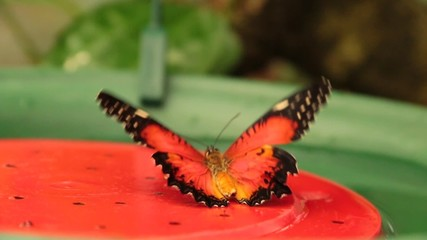 butterfly Malay Lacewing