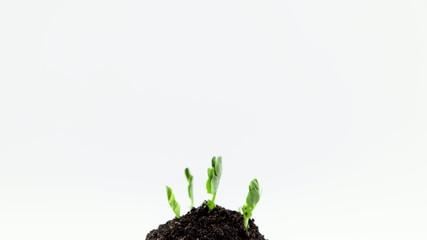 Growth of pea seedlings in two weeks, timelapse