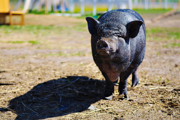 Black Pig on the farm