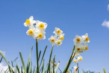 水仙の花と青空