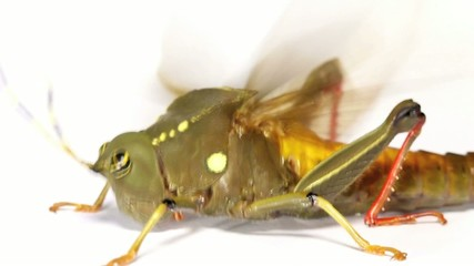 Dumpy Amazonian grasshopper flaps wings in attempt to take off