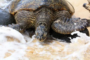 Splashed turtle