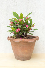 pink crown of thorns plants in earthenware pot on plywood and co