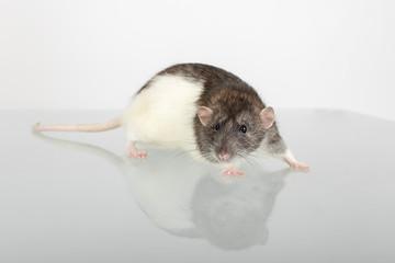 rat on glass