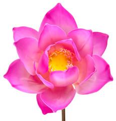 lotus rose fleur ouverte sur fond blanc