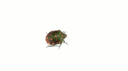 Brightly coloured hemipteran bug from rainforest, Ecuador