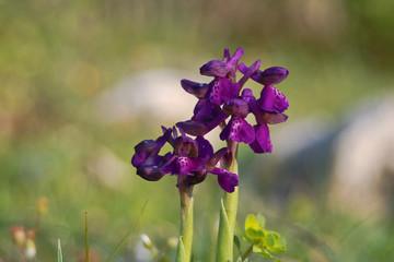 orchidea (Orchis morio) infiorescenza