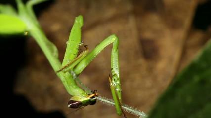 Praying Mantis feeding on a large katydid at night