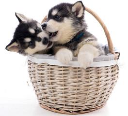 deux chiots malamute dans un panier