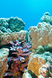 coral reef with hard coral violet acropora in tropical sea poster