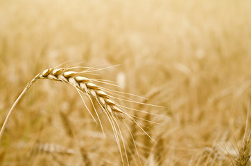 Golden Wheat Spikelet