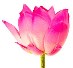 lotus rose sur fond blanc
