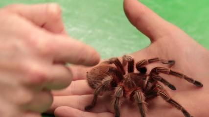 Tarantula Crawling On The Hand