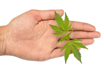 Marijuana leaves in hand