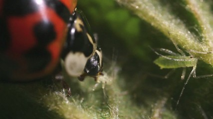 Ladybird beetle eating an aphid