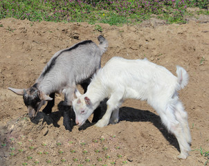 White and rufous goats comrades