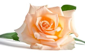 Delicate cream rose