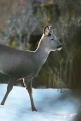 Roe deer walking on snow