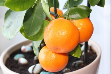 Citrus tree Calamondin