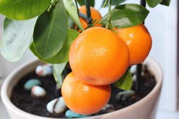 Citrus tree Calamondin